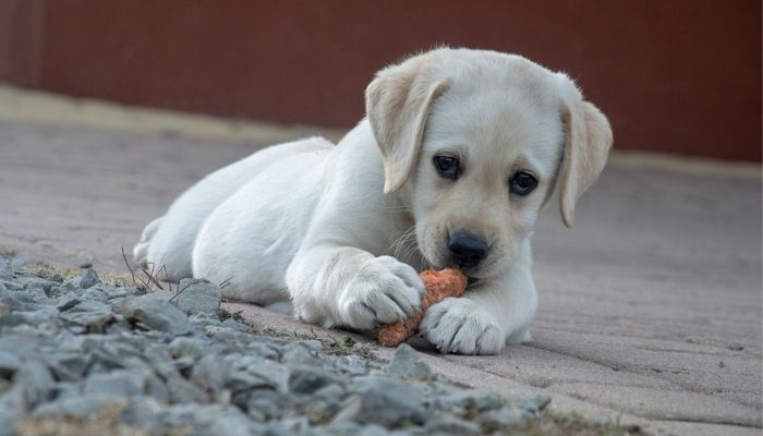 Why Do Puppies Eat Everything